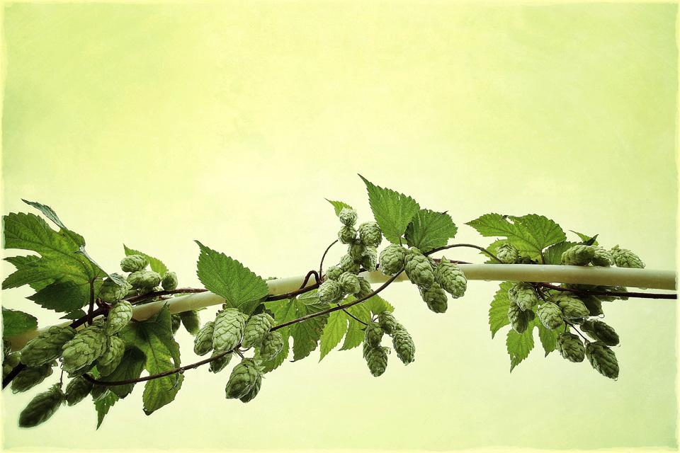Humulus-Lupulus