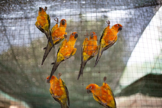 Yellow-Parrots-Kuala-Lumpur
