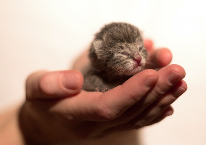 Newborn_Kitten_by_Jimmy_Lilja
